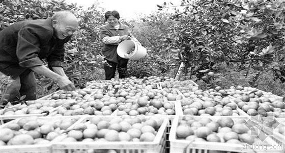 江西省新干县熊家岭移民村村民正在摘柑橘