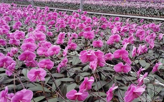 北京新机场征地村民骗补 一夜种几万棵蝴蝶兰