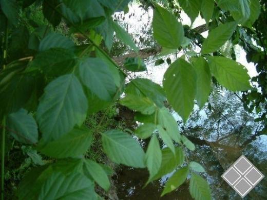 槭树的观赏价值