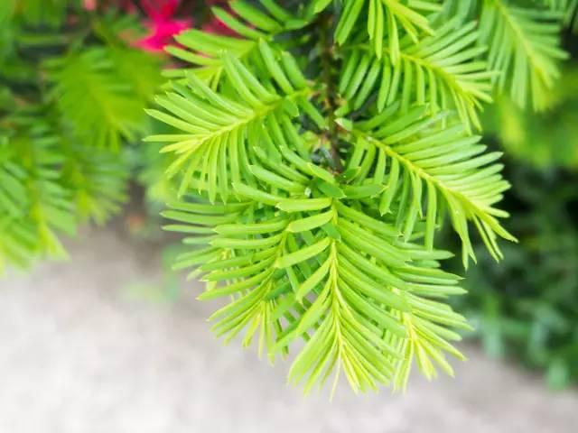 干货速藏]园林植物栽植形式:孤植、对枝、