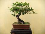 [干货]桂花盆栽这样修剪,让你的桂花花开满枝头