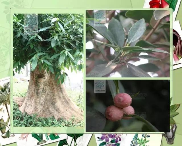 100种常见园林植物图鉴-20160523_183224_065.jpg
