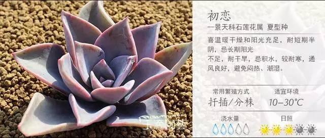 一入肉界深似海,100种常见多肉植物养护宝典_58
