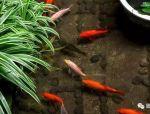 在庭院中,养一池锦鲤,让生活不再平淡!