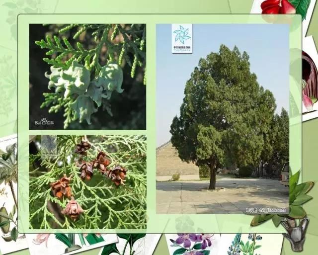 100种常见园林植物图鉴-20160523_183224_011.jpg