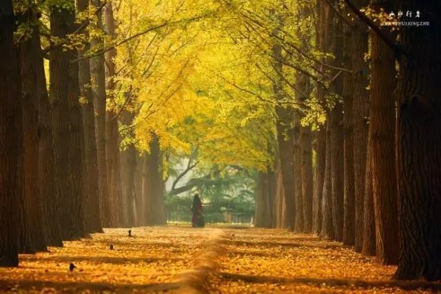去钓鱼台看银杏,走一走梦幻的金色大道