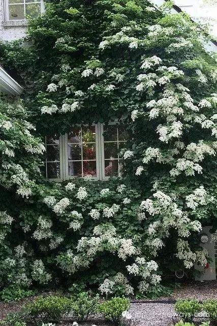 藤本植物[攀附的美丽]-640.webp (32).jpg