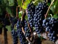 葡萄这么好吃,但是这些品种的葡萄你吃过吗?