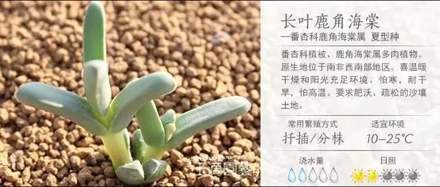 一入肉界深似海,100种常见多肉植物养护宝典_44