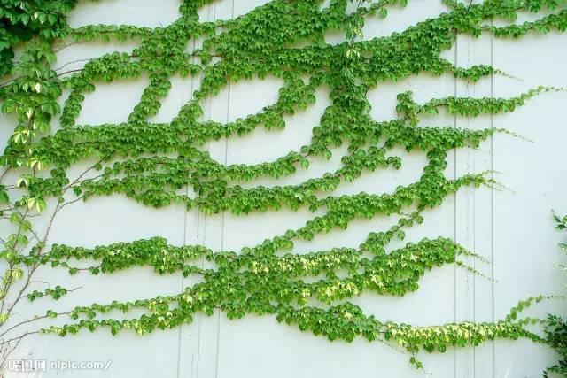 十八种藤本植物大集合~-011.jpg