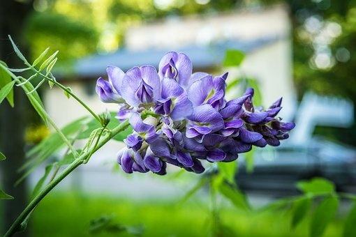 花漾庭院|藤本的一帘幽梦