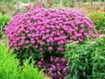 宿根花卉品种习性大全分析