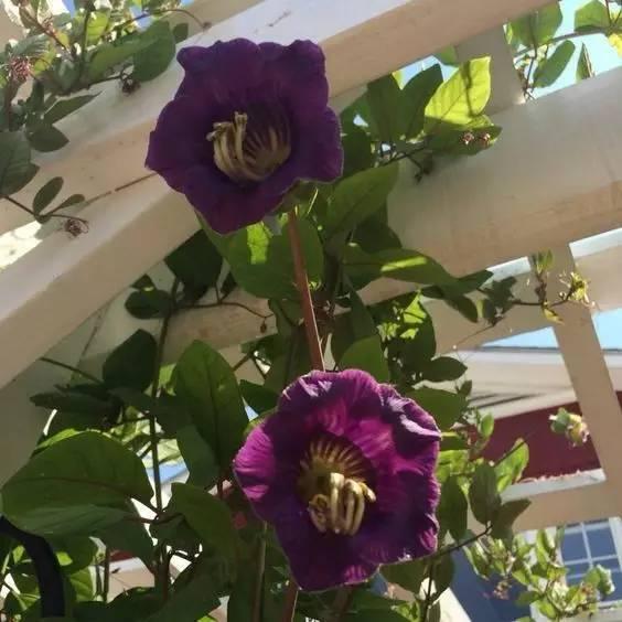 攀缘植物竟然可以如此美!_22