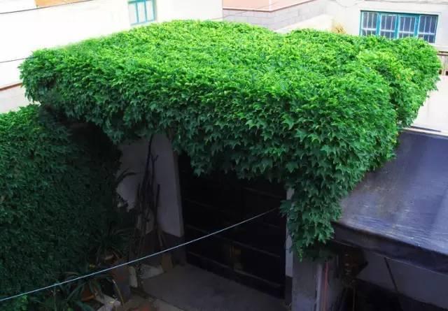 十八种藤本植物大集合~-012.jpg