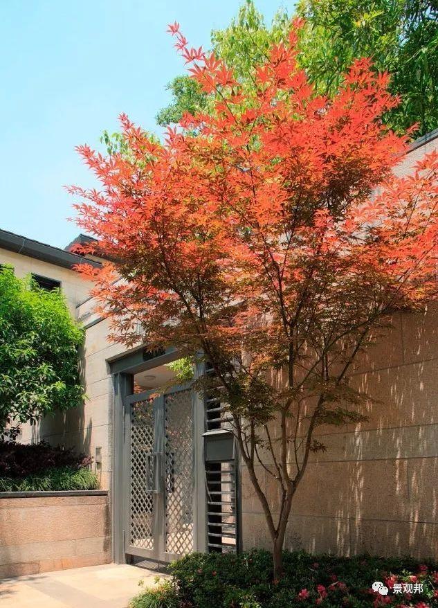 最吉祥的三十种庭院主景树_22