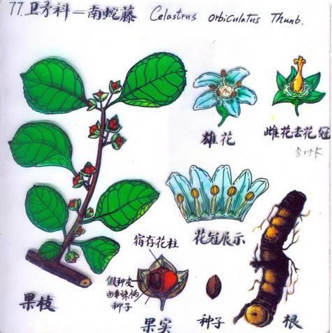 十八种藤本植物大集合~-033.jpg