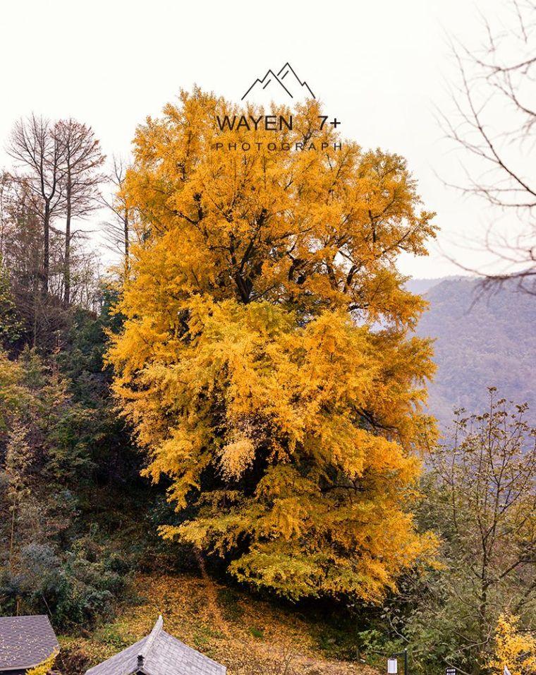 华东第一古树村,最最最绚烂的秋色