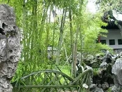 夏日竹韵——浅析竹子在景观设计中的应用_4