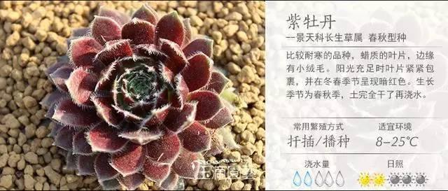 一入肉界深似海,100种常见多肉植物养护宝典_43