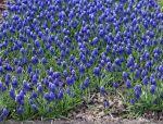 葡萄风信子‖是从欧洲引进的观花地被植物
