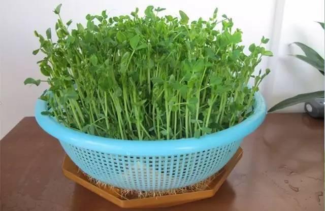种下这些10天就能吃的菜,正好年底打火锅_18