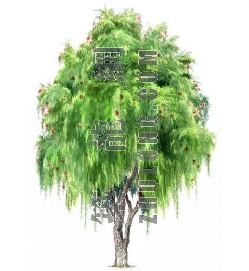 手绘园林植物立面图百例-2