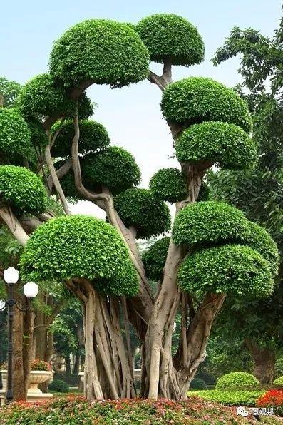 最吉祥的三十种庭院主景树_4