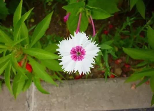 18种常见的镶边植物,你认识几种??_23