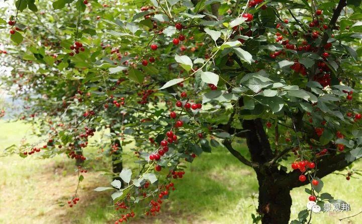 最吉祥的三十种庭院主景树_32