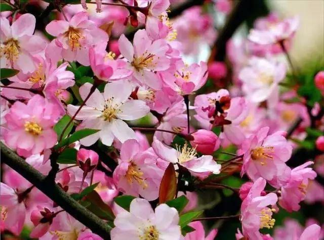 中式园林景观必备造景植物_8