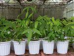 版纳植物园成功扩繁濒危植物伯乐树