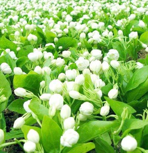 四季中,让人嗅到醉的植物-茉莉花.jpg