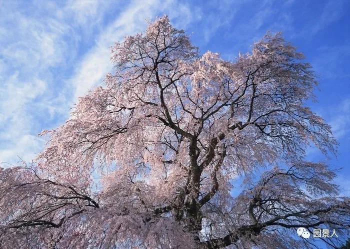 灵气之源·中式庭院主景树一览_10