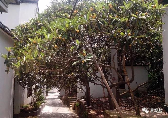 最吉祥的三十种庭院主景树_40