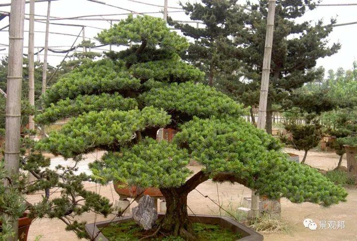 最吉祥的三十种庭院主景树_3