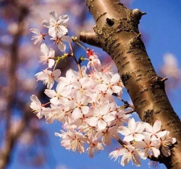 最吉祥的三十种庭院主景树_14