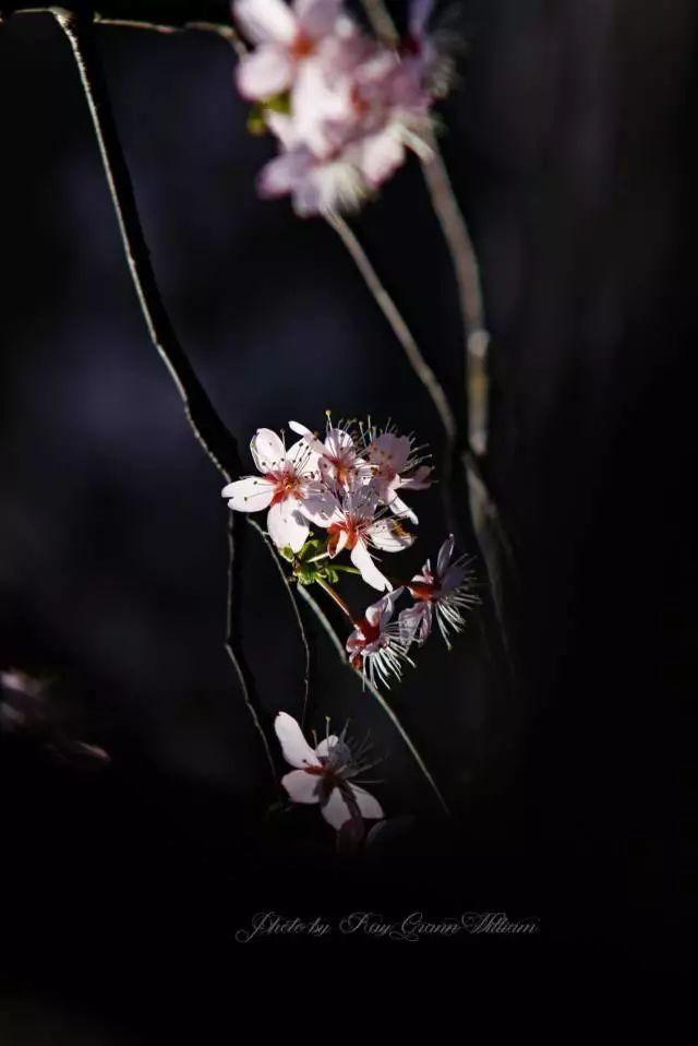 樱花怎么拍?这种逆光最出彩!