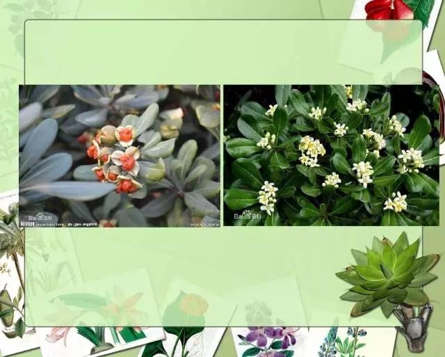 100种常见园林植物图鉴-20160523_183224_027.jpg