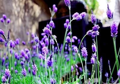 香花植物-嗅觉盛宴_15