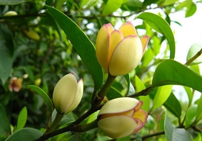香花植物-嗅觉盛宴_8