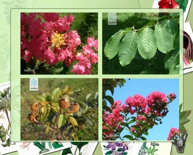 100种常见园林植物图鉴-20160523_183224_021.jpg