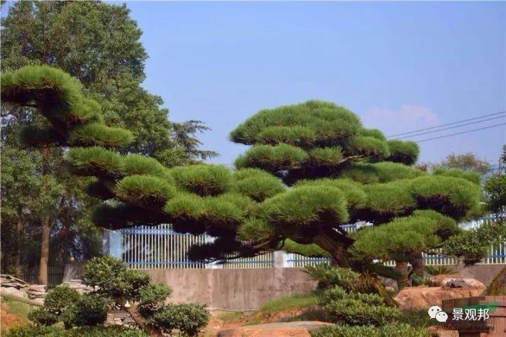 最吉祥的三十种庭院主景树_2