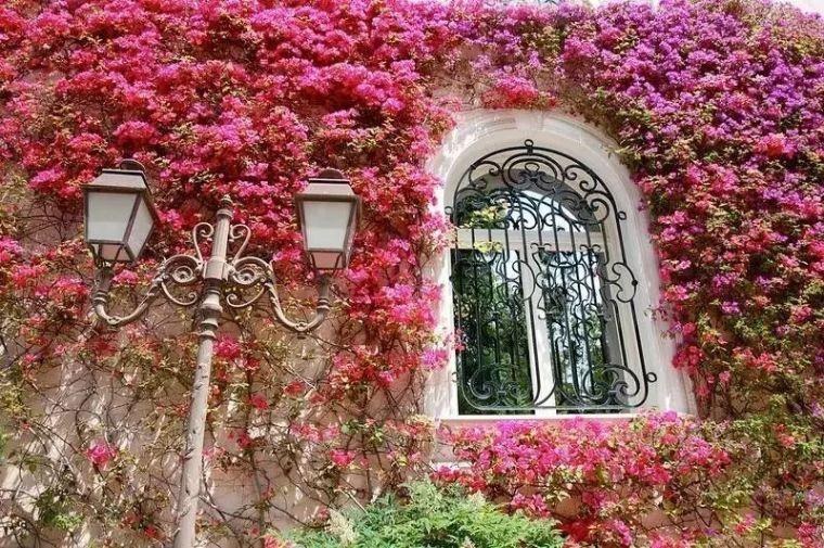 [藤本植物]铺满繁花的庭院,庭院设计必知的藤本植物