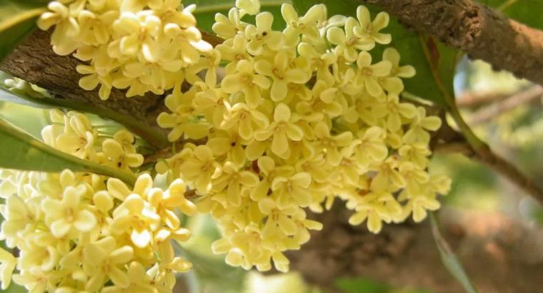 灵气之源·中式庭院主景树一览_14