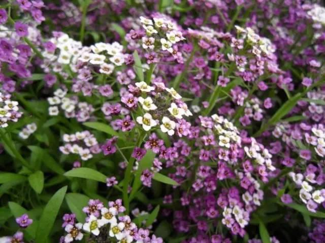 18种常见的镶边植物,你认识几种??_32