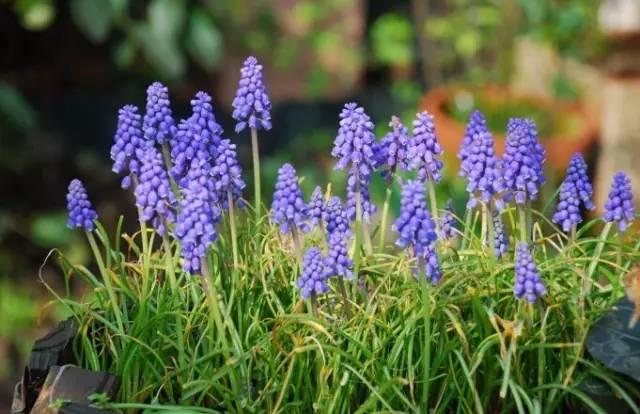 18种常见的镶边植物,你认识几种??_40