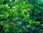 这些园林植物的花、果可以吃,你知道吗?