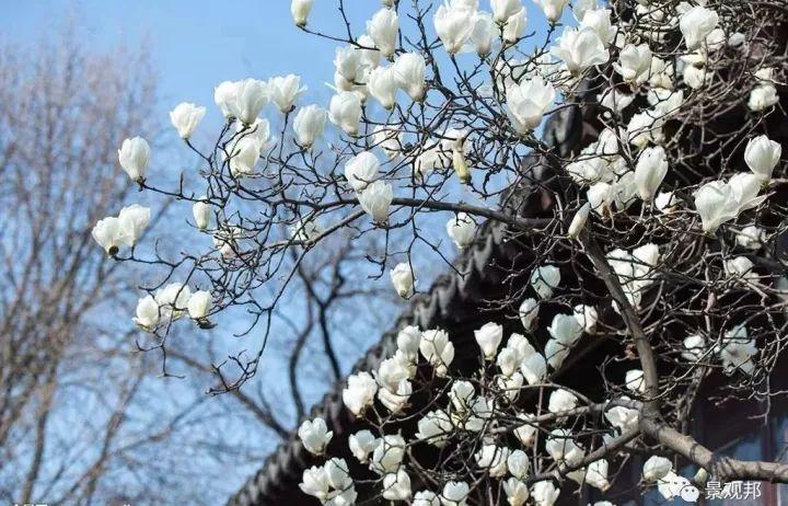 最吉祥的三十种庭院主景树_8