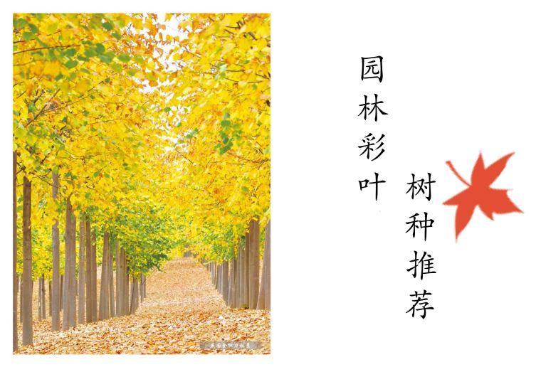 [干货]园林常用彩叶树种推荐(植物介绍+图片)