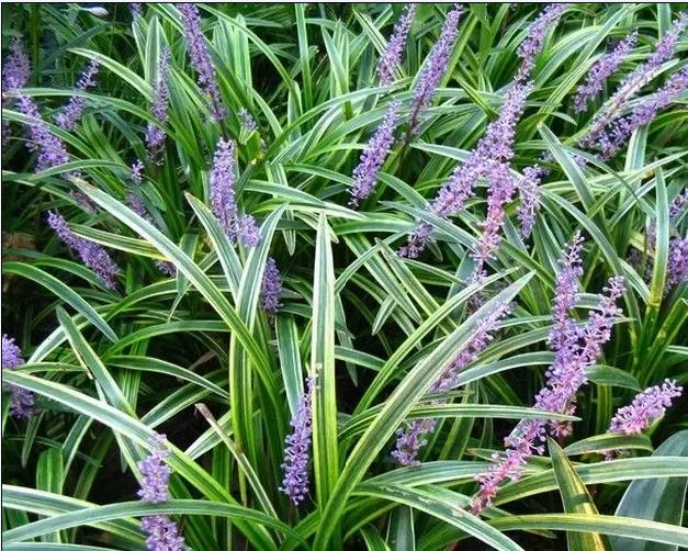 18种常见的镶边植物,你认识几种??_9